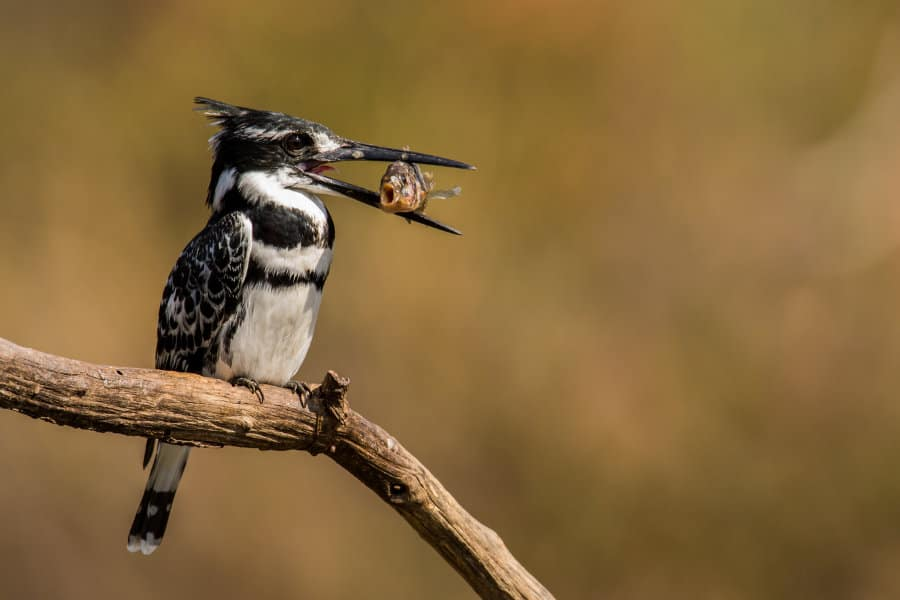Pied Kingfisher 10 Facts About The Remarkable Bird