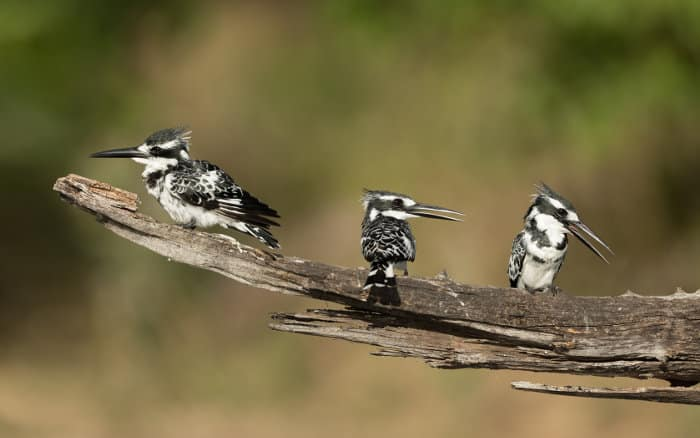 Three pied kingfishers relaxing on a branch, Chobe, Botswana