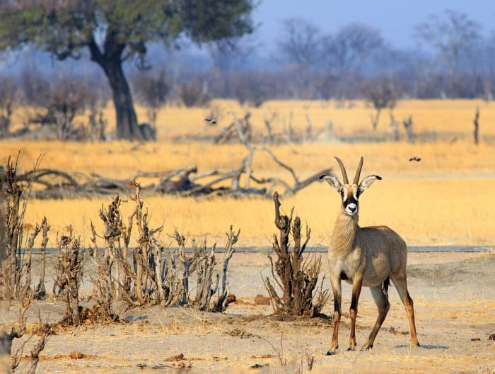 Lone roan antelope in Hwange National Park