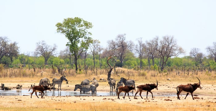 Sable and zebra at a local waterhole, Makalolo plains area, Hwange