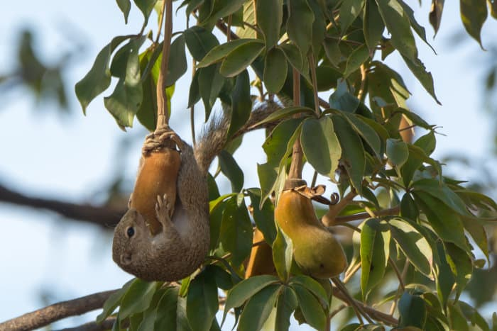 Sun squirrel hanging from a baobab fruit to enjoy its delicious nectar