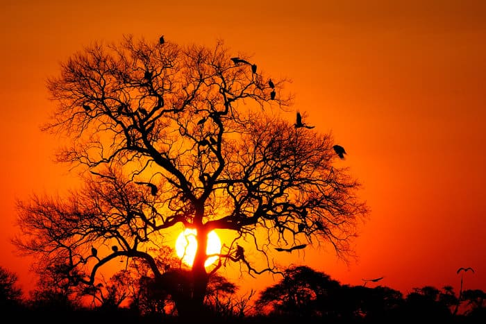 Vultures in a tree at sunset, Hwange National Park, Zimbabwe