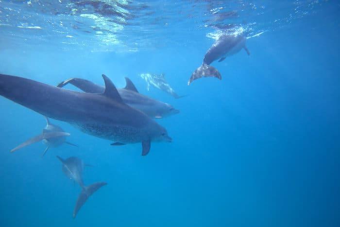 Wild bottlenose dolphins swimming off the coast of Zanzibar - underwater view