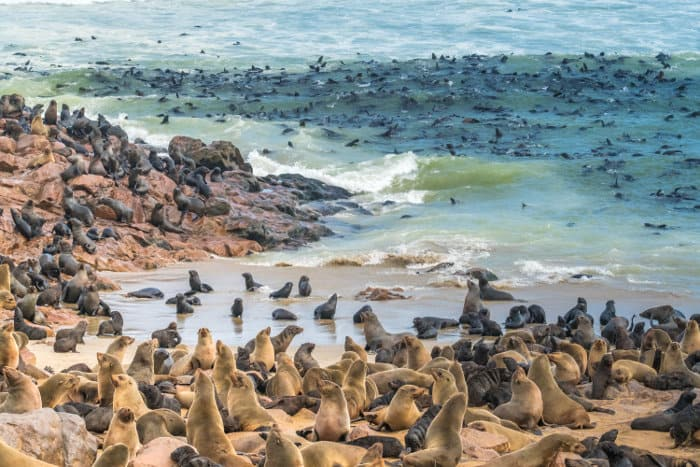 With an estimated population of up to 210 000 animals during the breeding season, Cape Cross is one of the largest colonies of Cape fur seals in the world