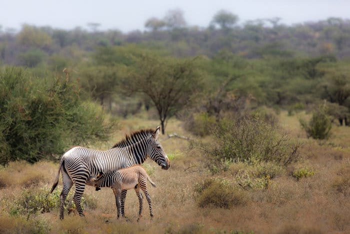 Grevy's zebra and calf in the African bush