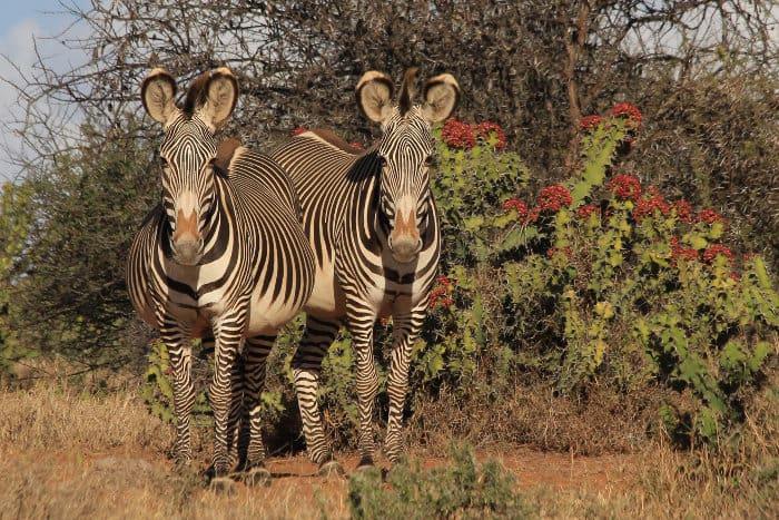 Grevy's zebras staring at the camera, Laikipia region, Kenya