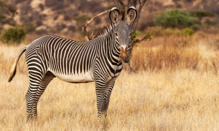 Why are Grevy's zebras endangered? And how can they be saved?