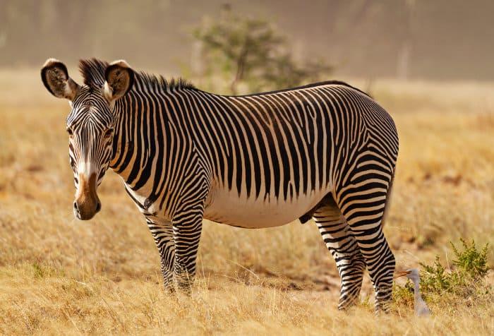 Portrait of a male Grevy's zebra in the Samburu National Reserve, Kenya