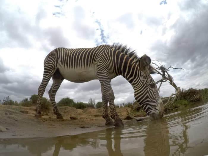 Grevy's zebra drinking, photographed at water level
