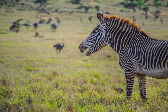 Grevy's zebra with a funny grin on his face, with ostrich in the background