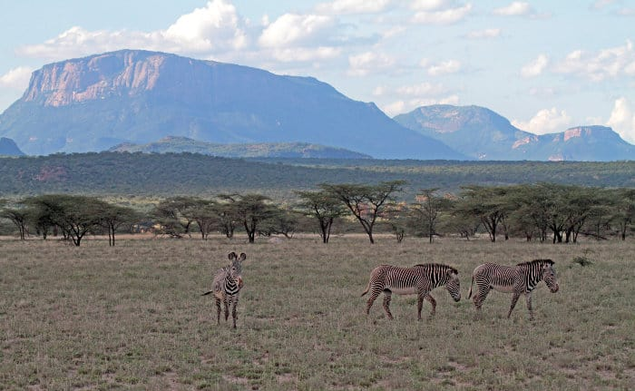 Grevy's zebra on the African plains, with beautiful mountains in the background