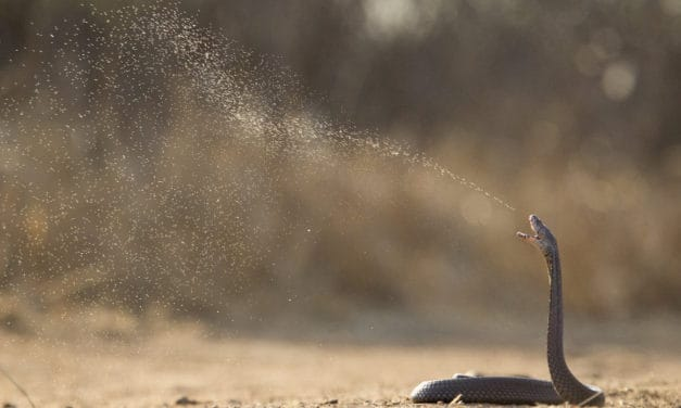 Mozambique spitting cobra: introducing one of Africa's deadly snakes