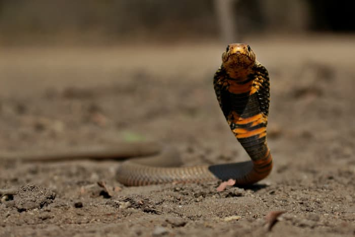 Mozambique spitting cobra in defensive mode