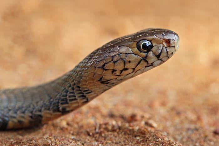 Mozambique spitting cobra head shot