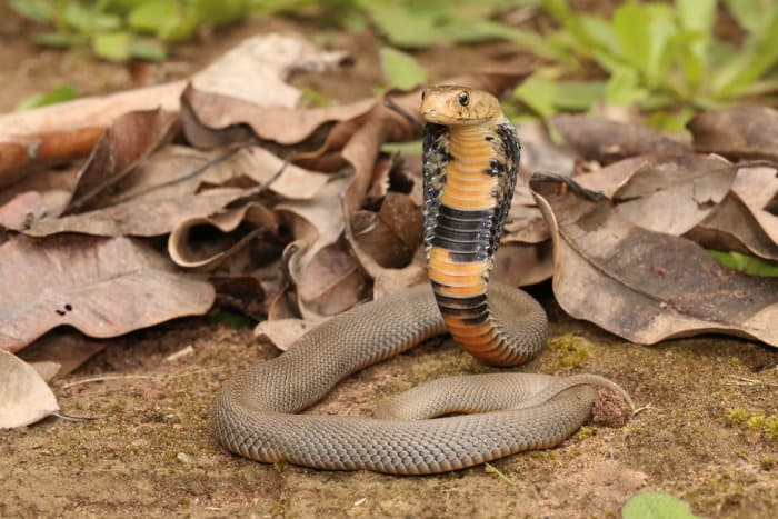 The Mozambique spitting cobra spreads its long narrow hood and erects itself when feeling threatened