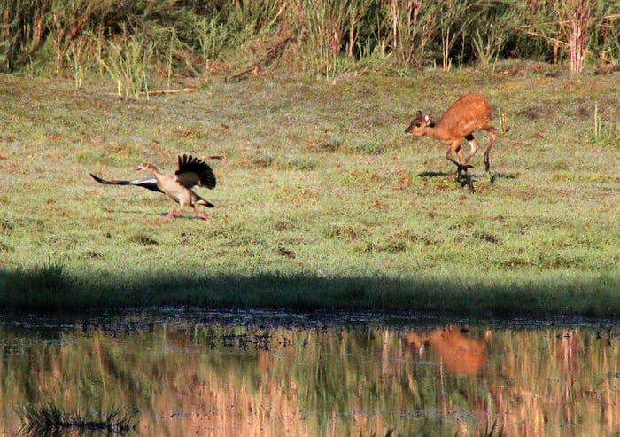 Baby sitatunga runs after an Egyptian goose, Kasanka National Park