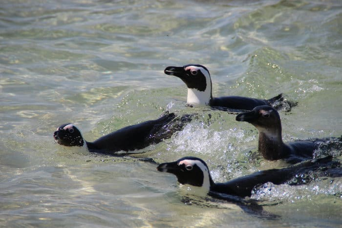 Four African penguins swimming in the ocean