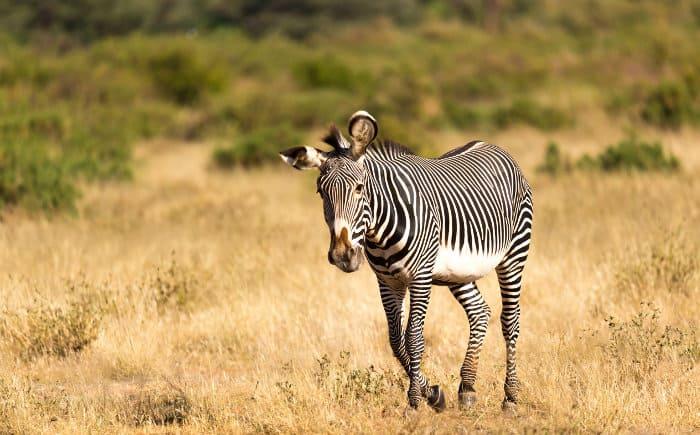 Funny Grevy's zebra