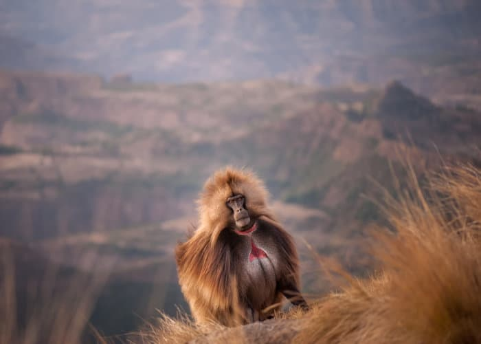 Gelada baboon portrait, in the Simien Mountains of Ethiopia
