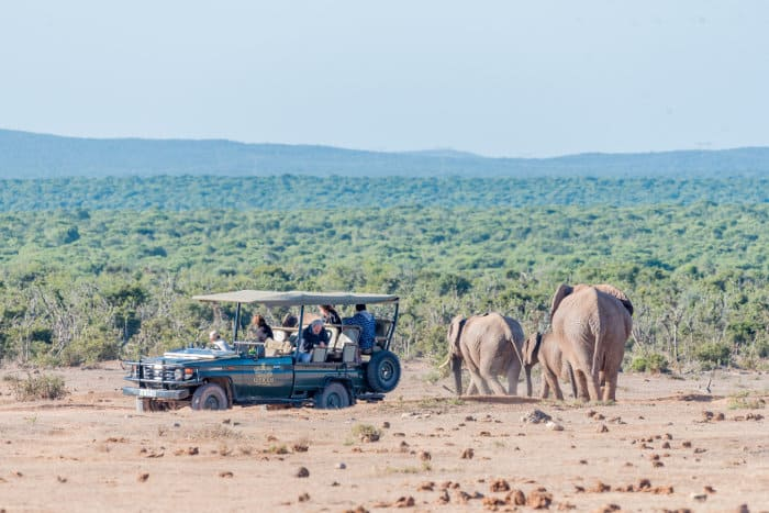 Guided game drive in Addo, with elephants going past the vehicle