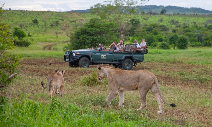 Observing wild lions in a local reserve near Durban