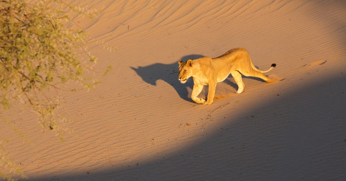 A very rare encounter with a desert lioness on the Skeleton Coast, Namibia