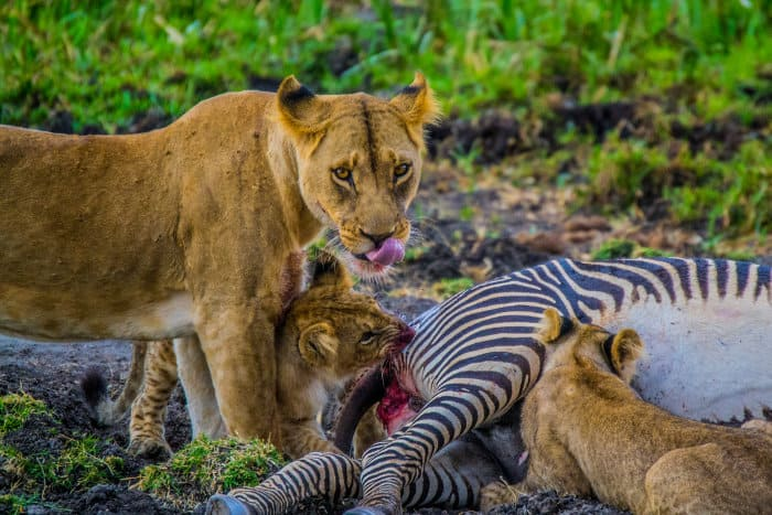 Lioness and cubs feeding on a dead Grevy's zebra