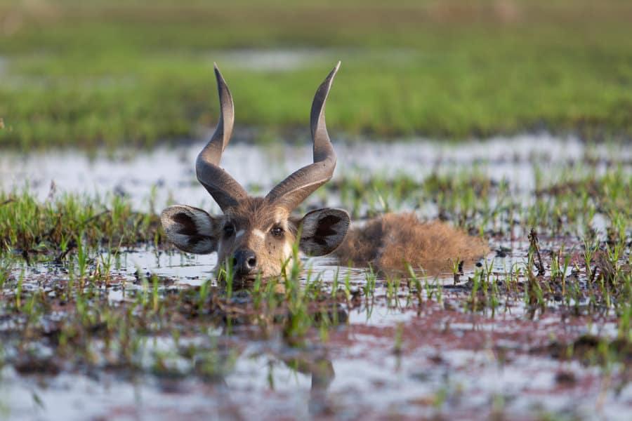 Sitatunga: Africa's amphibious antelope