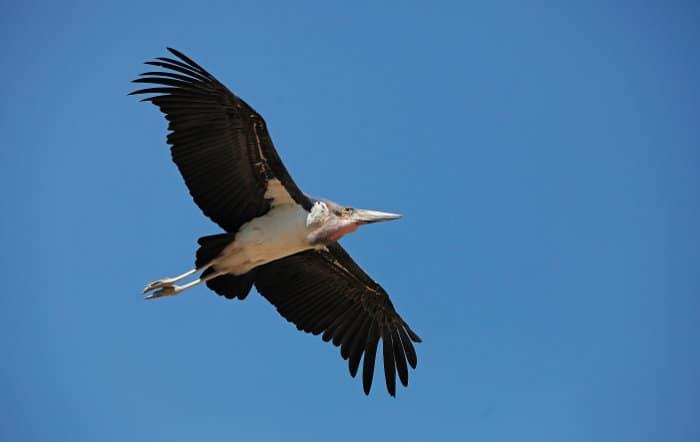 Marabou stork in flight, Masai Mara
