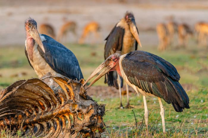 Marabou feeding off meat scraps from a wildebeest carcass