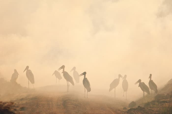 Marabou storks in the smog, caused by a wild fire