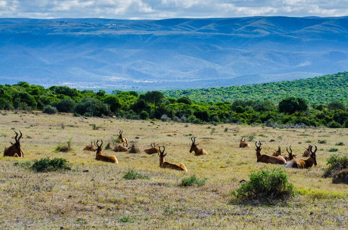 Herd of red hartebeest having a little rest, with some hills in the background, Addo