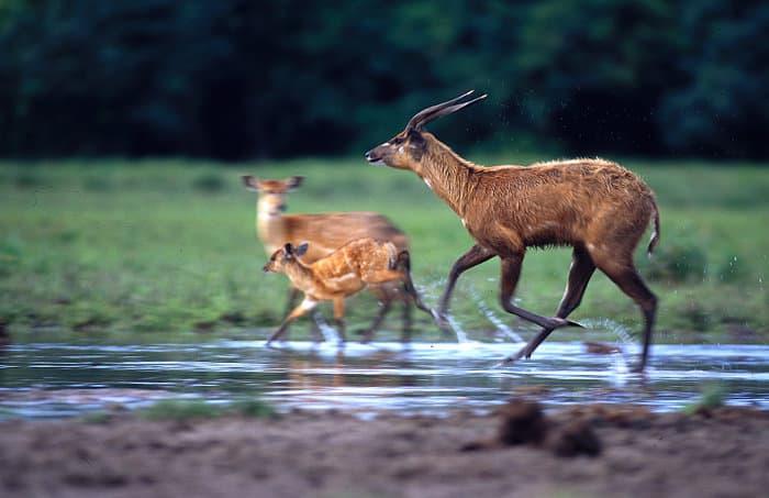 Sitatunga running in water, Odzala-Kokoua National Park