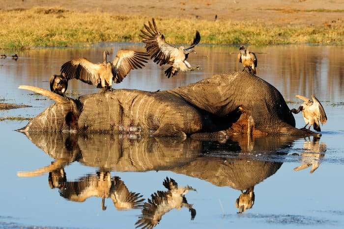 White-backed vultures feeding on a rotten elephant carcass in the water, Hwange, Zimbabwe