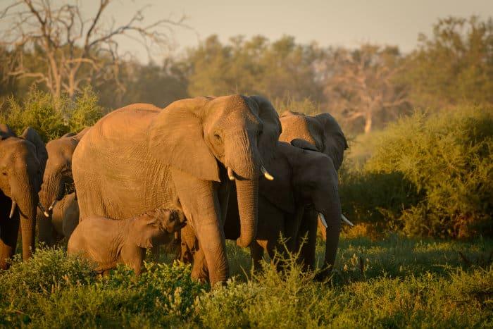 African bush elephant herd in Botswana