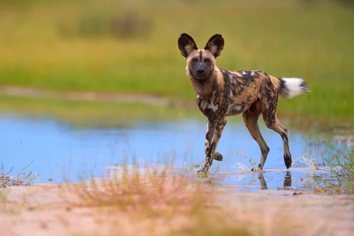 "African wild dog ""walking on water"", Moremi, Botswana"