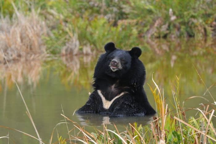 Asian black bear relaxing in a pond