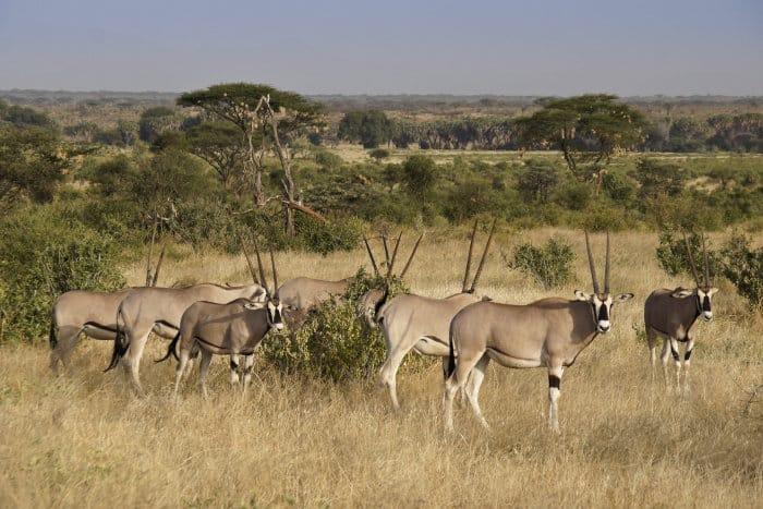 A herd of Beisa oryx in the Samburu National Reserve, Kenya