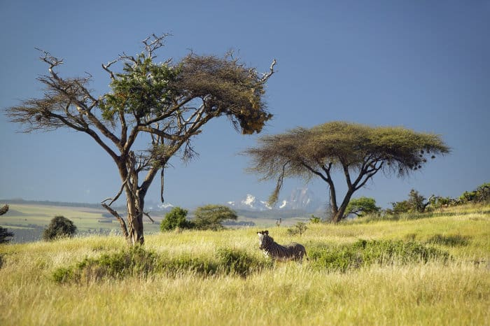 Lone Grevy's zebra posing in front of Mount Kenya, Lewa Conservancy