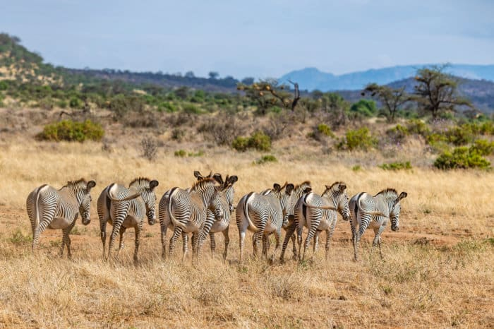 Herd of Grevy's zebra walking in a single file on the Samburu plains