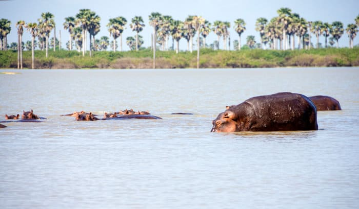Pod of hippos in the Rufiji river, Selous Game Reserve