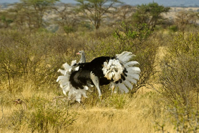 Male Somali ostrich doing the mating dance to attract the female