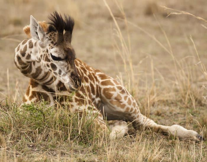 Baby Masai giraffe resting on the African savanna, tucking its legs beneath its body