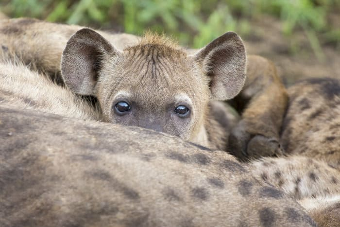 Baby hyena drinking milk from its mother, revealing its beautiful eyes