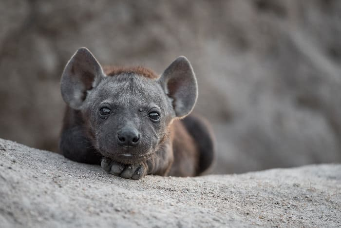 Cute baby hyena portrait, posing for the camera right outside the mouth of its sandy den