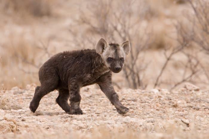 Baby spotted hyena running