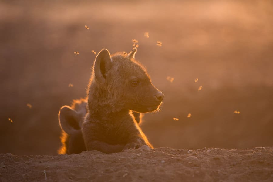 Baby hyena: Africa's scruffy spotted cub