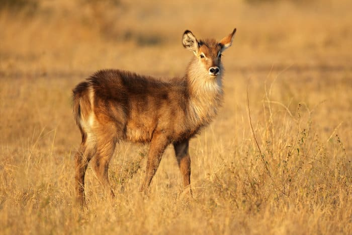 Common waterbuck calf in late afternoon sunlight