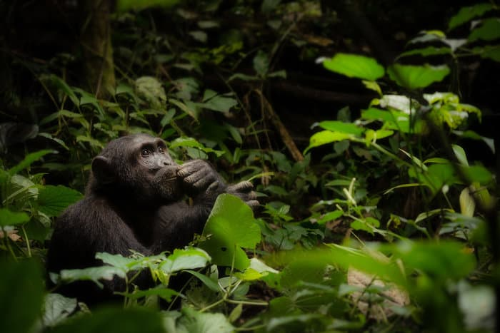 Dreamy chimpanzee in Kibale Forest National Park