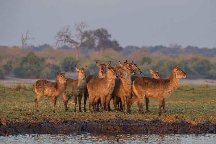 Herd of common waterbuck at sunrise, waiting to cross the Chobe river